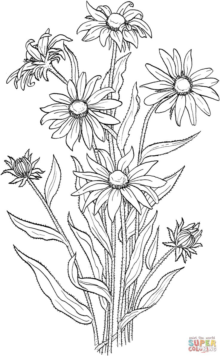 Coloring pages for donna flor - Rudbeckia Hirta Or Black Eyed Susan Coloring Page Supercoloring Com