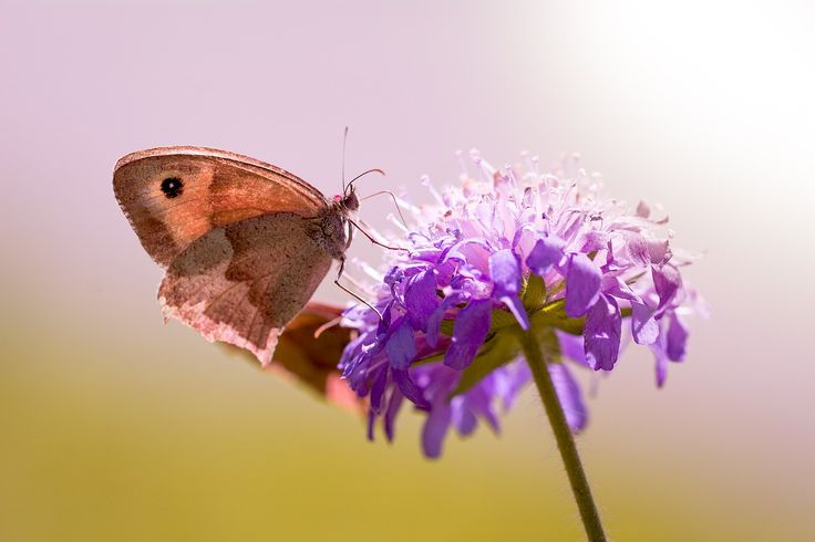 Butterfly, Meadow Brown, Deaf-Skabiose, Pigeon Scabious  FREE