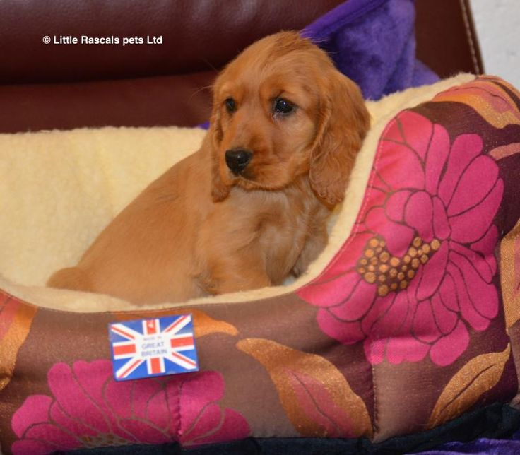 Gorgeous Golden Cocker Spaniel Puppies - Pedigree Puppies For Sale