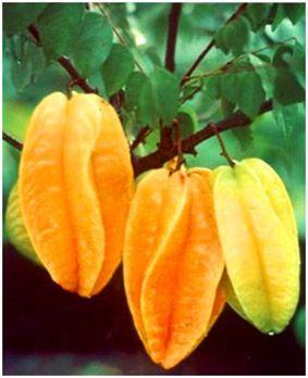 Belimbing Manis = star fruit = Averrhoa carambola