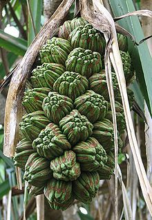Hala (in Hawaiian) fruit is a member of the screwpine family. Native to…