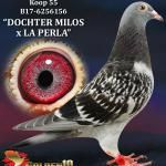 "055 - B17-6256156 ""DOCHTER MILOS x LA PERLA"" ♀   De Duif"