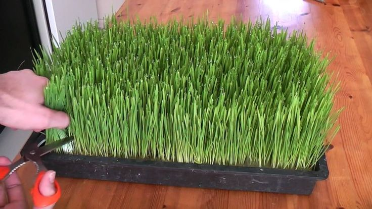 How to grow your own wheatgrass at home step by step DIY tutorial instructions, How to, how to make, step by step, picture tutorials, diy instructions, craft, do it yourself
