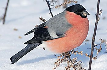 Punatulkku  BirdLife Suomi - Pihabongaus