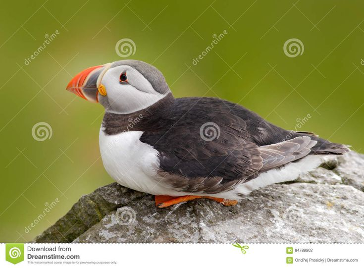 Atlantic Puffin, Fratercula Artica, Artic Black And White Cute Bird With Red Bill Sitting On The Rock, Nature Habitat, Iceland. Wi Stock Photo - Image of great, island: 84789902