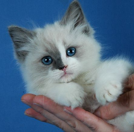 Blue Gem Ragdoll Cats - Photo Gallery - Ohio