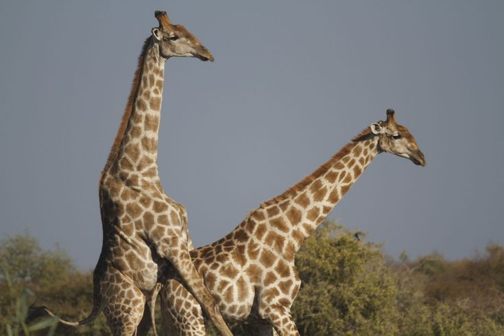 How Much Do You Know About Giraffes?: Giraffes Mate Very, Very Quickly