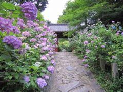 深溝松平家の菩提寺である本光寺はあじさいの名所として知られるお寺です 境内には15種10 000本のあじさいが植えられていて毎年梅雨の時期には沢山の人で賑わうんですよ 特に参道の両側にはあふれんばかりのあじさいが() 他にも梅やツバキなどの花もあるので一年を通じて楽しめるのもこのお寺の魅力です tags[愛知県]