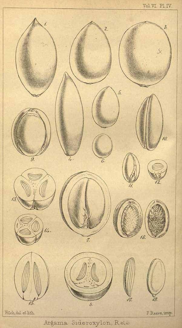 アルガン Argania spinosa (argan tree)  Hooker's journal of botany and Kew Garden miscellany  (1854)