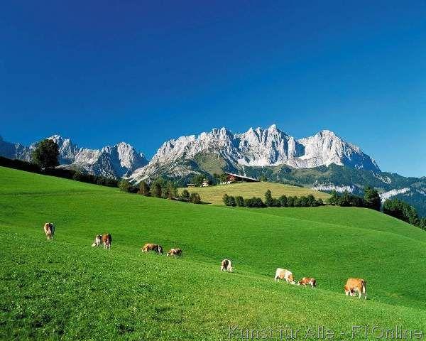 Berg Wilder Kaiser, Kühe