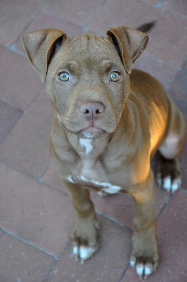 - American Pitbull Terrier.Want more? Follow:http://dogsandpupsdaily.tumblr.com/