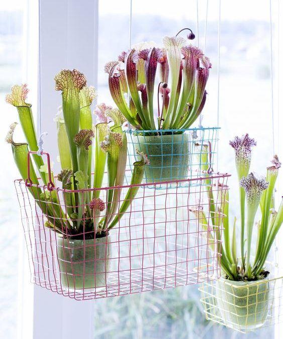 Cada vez vemos más Plantas Carnívoras en las principales revistas y blogs de decoración. ¡Todo lo que necesitas saber sobre ellas antes de comprar una!