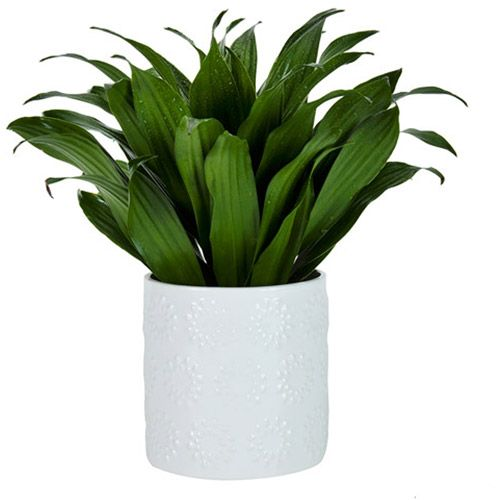 exotic angel plants 4 9 dracaena janet craig compacta in