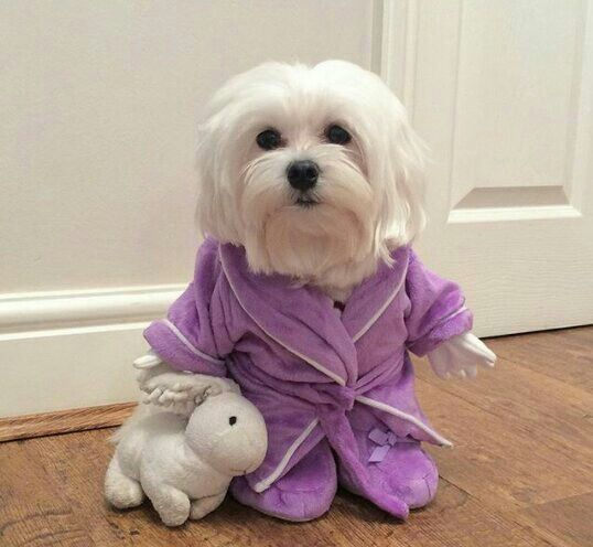 So cute. Maltese dogs rock!!!!                                                                                                                                                                                 More