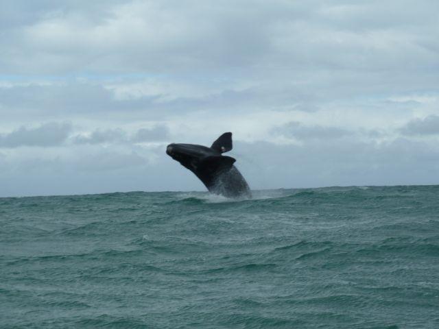 Whale joy! Breaching whale calf in Walker Bay, Gansbaai