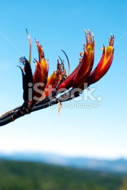 Harakeke (New Zealand Flax) in Bloom Royalty Free Stock Photo