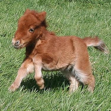 Frolicking Shetland Ponies