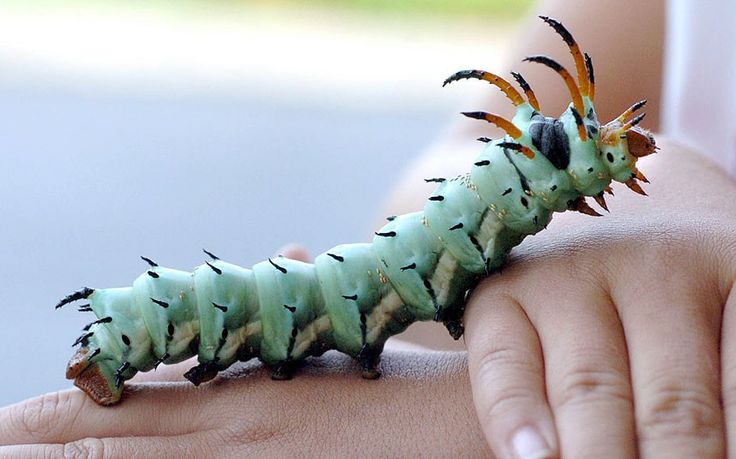 A Hickory Horned Devil caterpillar, the larva of the Royal Walnut Moth, also known as the Regal Moth