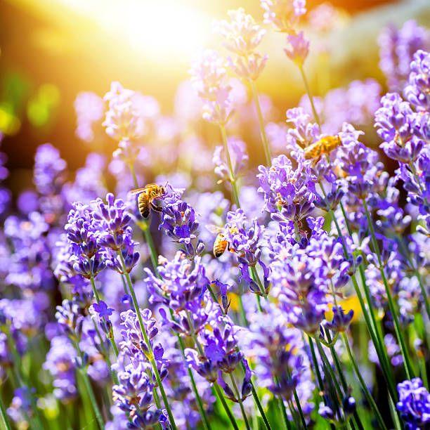 Hermosas flores de lavanda en Francia con abejas polinizadoras - foto de stock