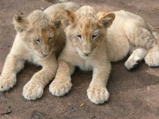Lion Park - Johannesburg - Reviews of Lion Park - TripAdvisor