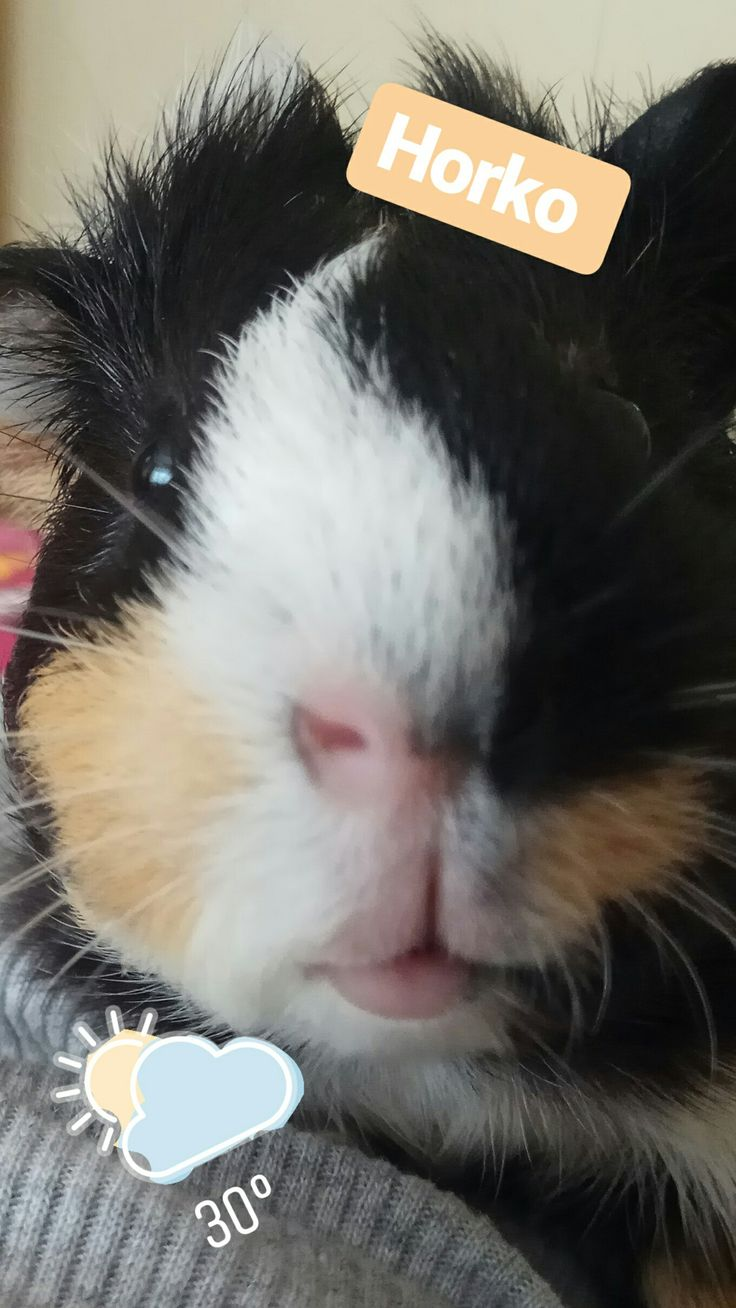 Face nose Pink Eyes Guineapig Guinea Pig Adorable Cute Moffi Colorful