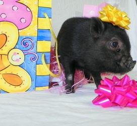 Pocket Pig!!