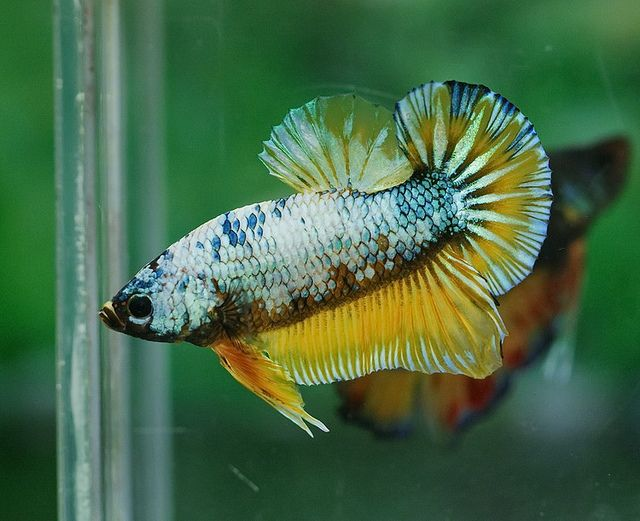 1000 images about fish keeping on pinterest cichlids for What fish are compatible with betta fish