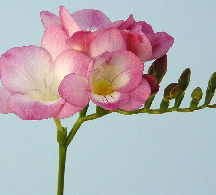 Rose Marie Freesia bulbs