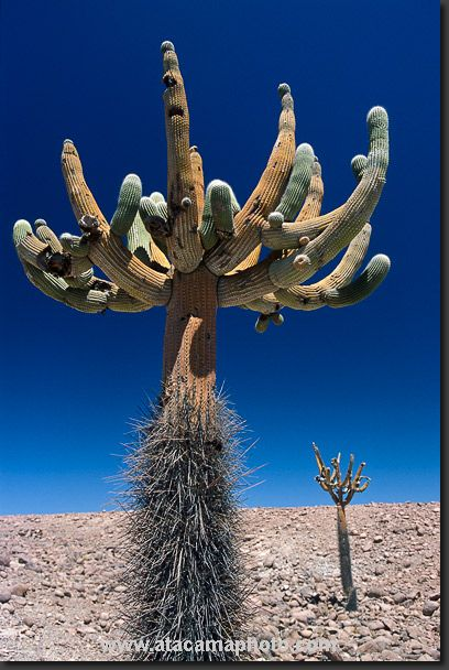 "Browningia Candelari (candelabro cactus)ブラウニンギア属 群蛇柱 ""燭台サボテン"" Peru-Chile."