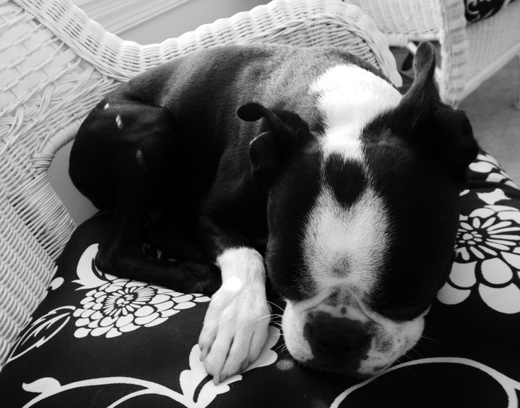 <3 on his head!Puppies, Boston Baby, Sweets, Black And White, Mason, Heart Dogs, Heart Shapes, Boston Terriers, Animal