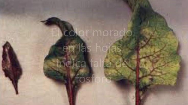 En ocasiones verás que las hojas de tus plantas se marchitan. o cambian de color. Aquí te decimos cómo puedes aportar los nutrientes que necesitan las plantas con https://www.alquera.com/sulfato-de-potasio/ y con https://www.alquera.com/nitrato-de-potasio/