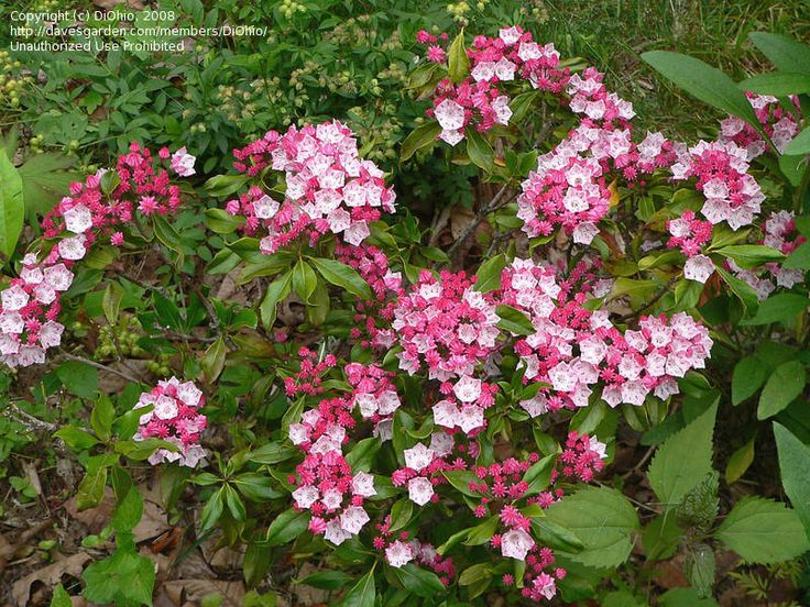 Mountain Laurel 'Olympic Fire' (Kalmia latifolia) also likes acid soil