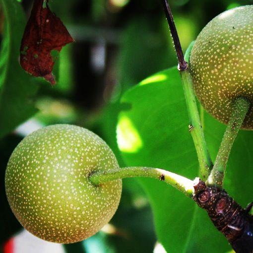 Vendita Online Piante ad Alberi da Frutto - Sale Online Fruit Plants and Trees