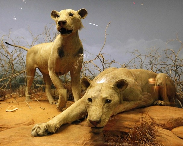 """The Tsavo man-eaters...well, their skins at least.   Patterson was able to """"sort it out""""."""
