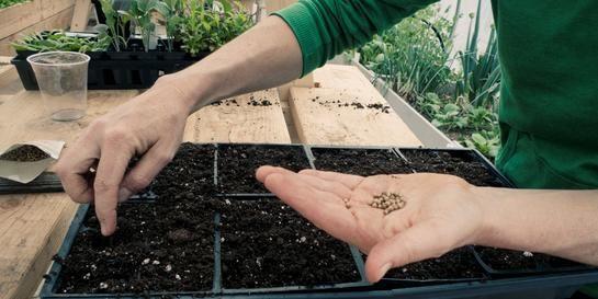 To hender som sår frø i små potter innendørs