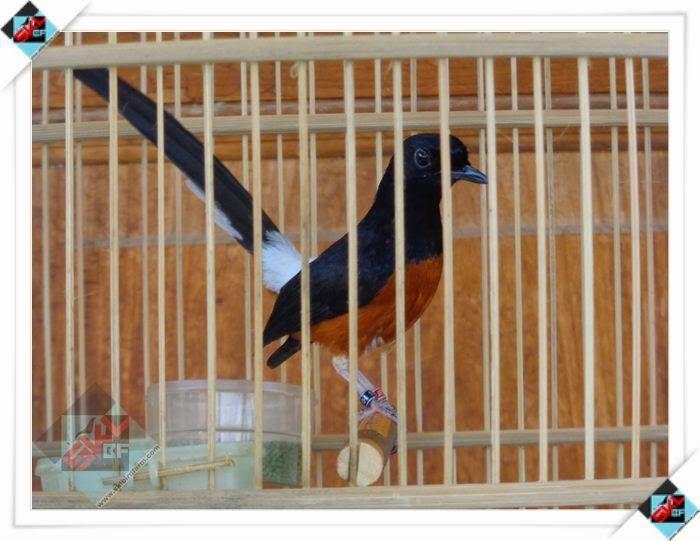 ISTANA KICAU BIRD SHOP: MURAI BATU MEDAN SUARA SUPER CAGOR   ISTANA KICAU BIRD SHOP