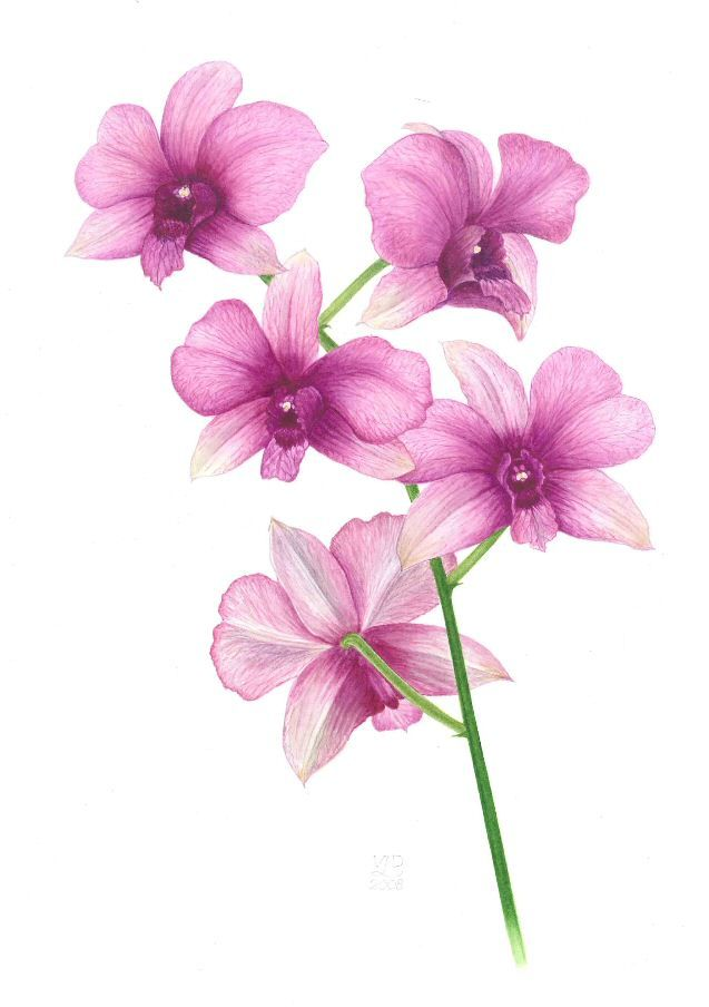 Orchid Flower Line Drawing : Best images about art attack on pinterest watercolors
