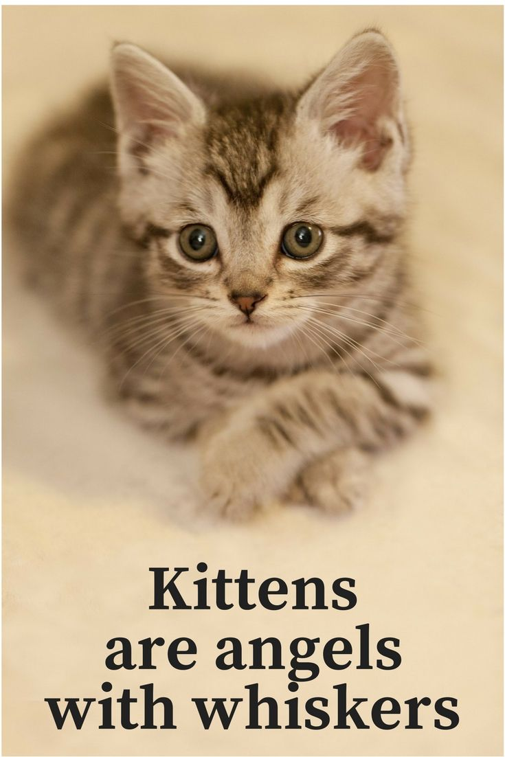 Kittens Are Angels With Whiskers Tabby Cat Tabby Cat Pictures Pretty Cats
