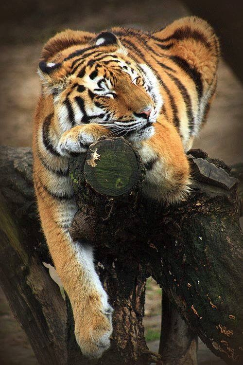 Christmas Wallpaper Snow Falling The 25 Best Sleeping Tiger Ideas On Pinterest Tigers