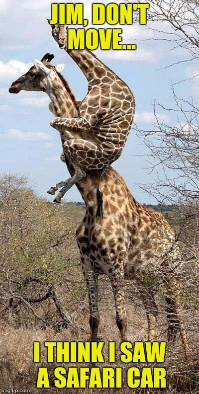 Factoflife – Interesting facts about Giraffe move you might didn't know: Giraffes have two ways of moving, a loping walk and a gallop. When they walk, the giraffes move both feet on one…