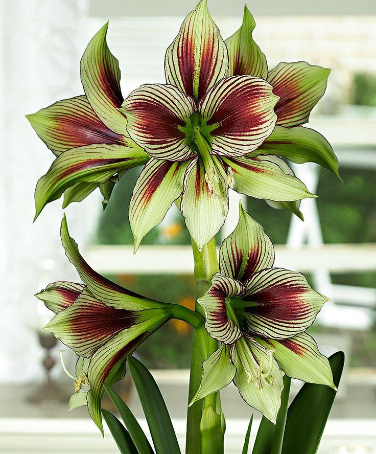 amaryllis 39 papilio 39 blumenzwiebeln bakker blossoms and more pinterest pflanzen blumen. Black Bedroom Furniture Sets. Home Design Ideas