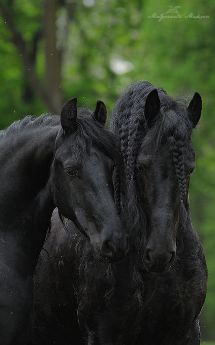 •♥•✿ڿڰۣ(̆̃̃•Aussiegirl  #Horses Beautiful Friesians