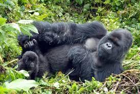Image result for gorilla trekking