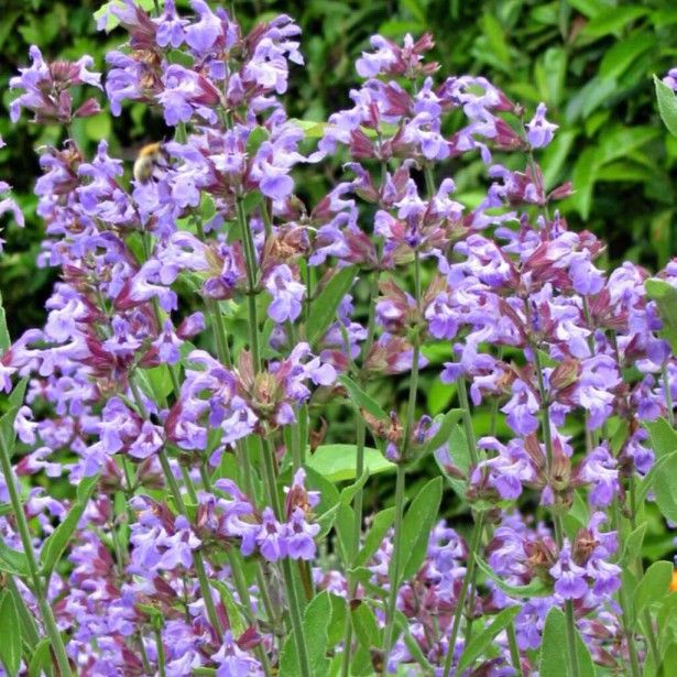 Sauge+officinale+-+Salvia+officinalis