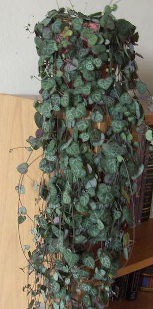 hearts-on-a-string/ceropegia woodii, golden pothos, non edible lavender-- hard to kill houseplants