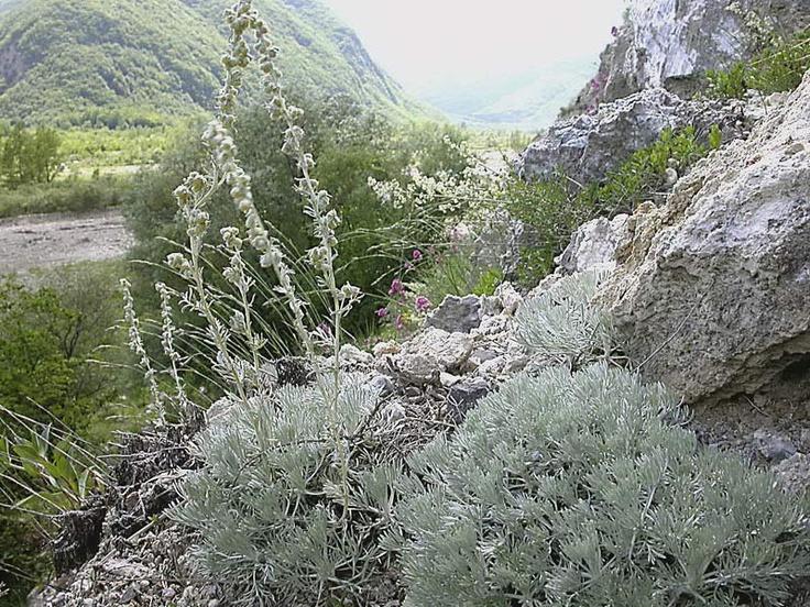 Artemisia lanata