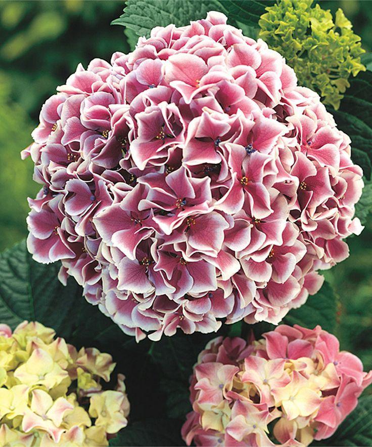 Plant Hydrangeas: 22 Best Hydrangea Images On Pinterest