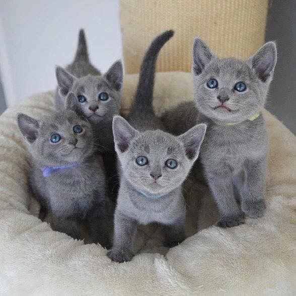 What Is Cat Snoring Russian Blue Cat Blue Cats Cats And Kittens