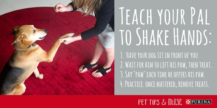 Time to learn some new dog tricks! Teach your dog how to put his best paw forward with these step by step shake directions!