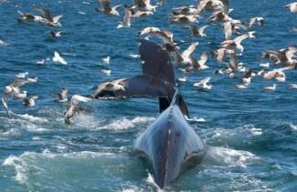 В Австралия глобиха мъж, който, както твърди съда, плувал върху кит. Хю Джейсън Райзборо трябвало да заплати глоба в размер на повече от 2000 долара. Инцидентът е станал през 2011 година, но решение по това дело било прието едва сега. Съдът установил, че Райзборо плавал върху кит по време на почивка в западната част на Австралия.